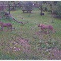 Ghepardo (Acinonyx jubatus). Video-streaming 2014, Galleria Ex Elettrofonica / Parco Natura Viva di Verona